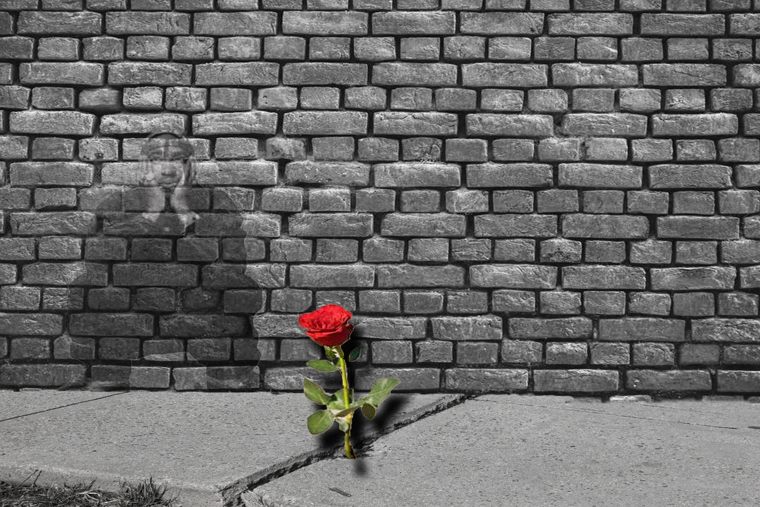 Red Rose Growing From Concrete
